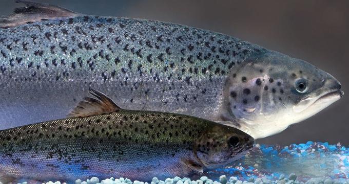 EEUU aprueba salmón transgénico para consumo humano ~ De Avanzada