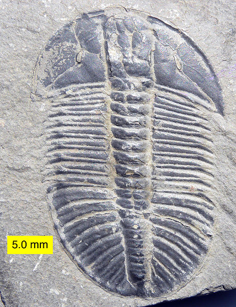 by Wilson44691 http://commons.wikimedia.org/wiki/File:Cambrian_Trilobite_Olenoides_Mt._Stephen.jpg