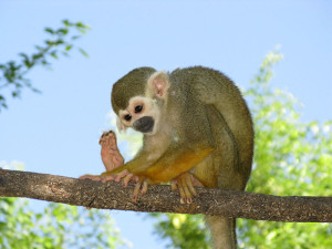 Squirrel monkey at the Phoenix Zoo http://en.wikipedia.org/wiki/File:Monkey_toes.jpg