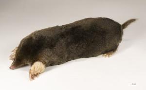 European (or Common) Mole: Talpa europea by Didier Descouens