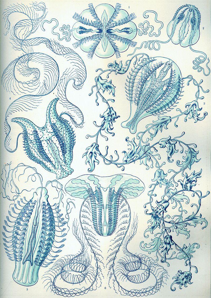 Ernst Haeckel - Kunstformen der Natur (1904), plate 27: Ctenophorae