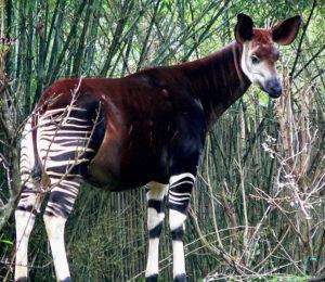 An Okapi. Taken at Disney's Animal Kingdom by Raul654 on January 16, 2005.